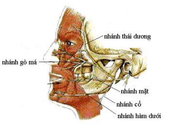 Đường đi và phân bố của dây thần kinh số VII hay dây thần kinh mặt.