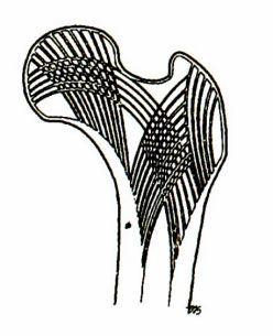 cấu trúc các bè xương củacổ xương đùi