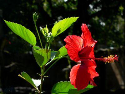 hoa râm bụt tác dụng lợi niệu tiêu thũng, chỉ huyết
