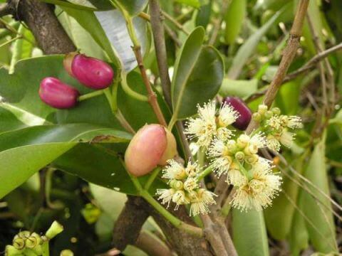 hoa vối sát trùng, giúp tiêu hóa tốt, chữa tiêu chảy, lỵ, viêm đại tràng, chữa các bệnh ngoài da.